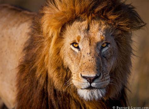 male lion burrard lucas photography