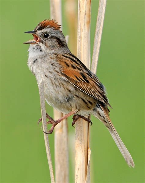 show me a picture of a sparrow angry sparrows quot shy quot birds show aggression with wings