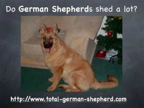 do dogs shed all year do german shepherd dogs shed german shepherd dogs
