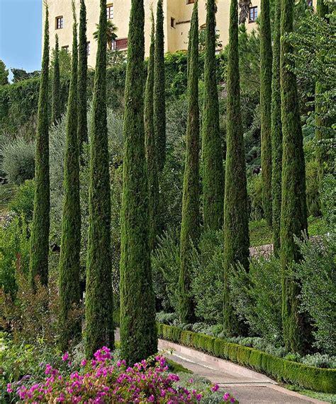 Best 25+ Italian Cypress Trees Ideas On Pinterest