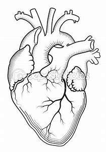 Anatomical heart, Heart and Human heart tattoo on Pinterest