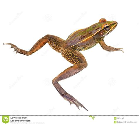 Closeup Leopard Frog Isolated White Stock Photo