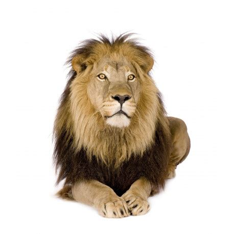sticker mural lion de face univers savane jungle