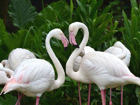 white flamingo desktop wallpaper hd wallpaperscom