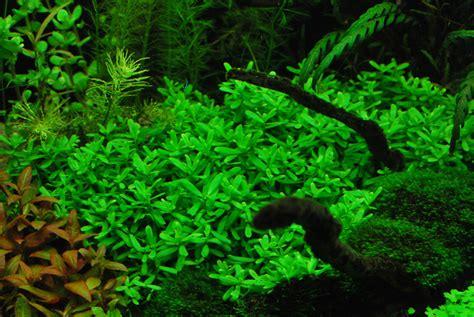 bacopa monnieri caresheet aquatic mag