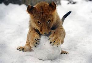 Baby lion plays in snow | Undeniable Cuteness | Pinterest