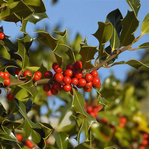 ilex aquifolium common holly mail order trees