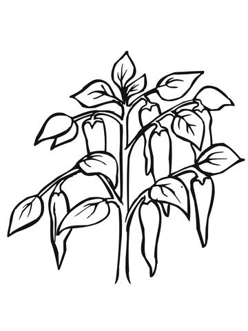 chili pepper plant coloring page supercoloringcom