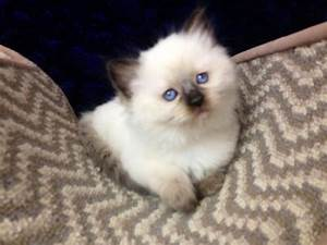 Ragdoll Cats in many Colors and Patterns -Jamila's Ragdolls