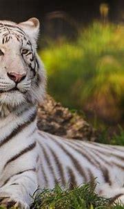 White Siberian Tiger Wallpaper ·① WallpaperTag