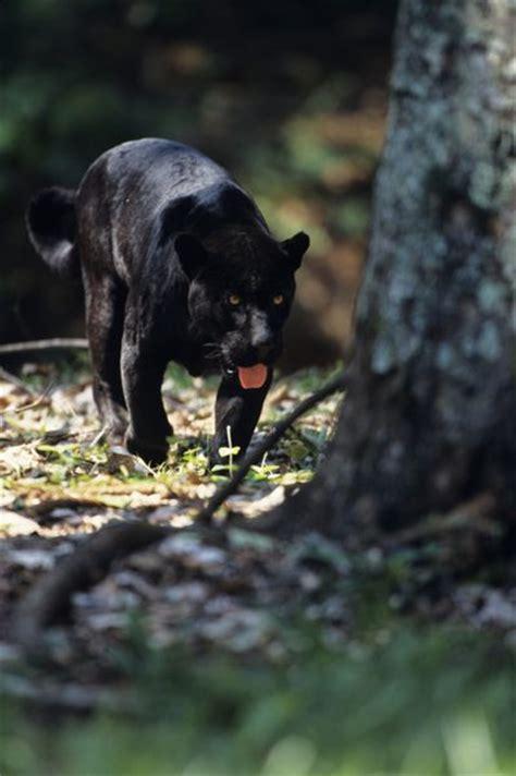 Black Jaguar Habitat by The Black Jaguar As An Endangered Species Animals Me