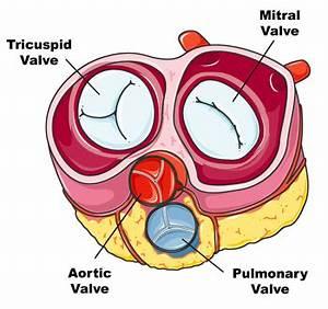Diagram Of Valve : normal heart valves diagram pictures ~ A.2002-acura-tl-radio.info Haus und Dekorationen