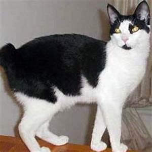 Japanese Bobtail - Catster