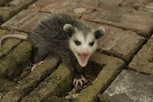 Times Opossums Were The Unsung Heroes Of Cute - Barnorama