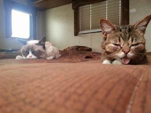 Lil Bub Meets Grumpy Cat | Incredible Things
