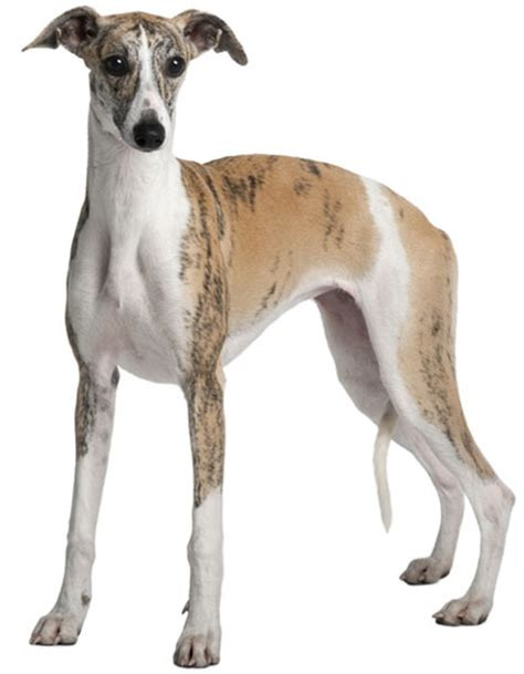 Italian Greyhound Non Shedding by Breed Of The Week The Whippet Vetsure