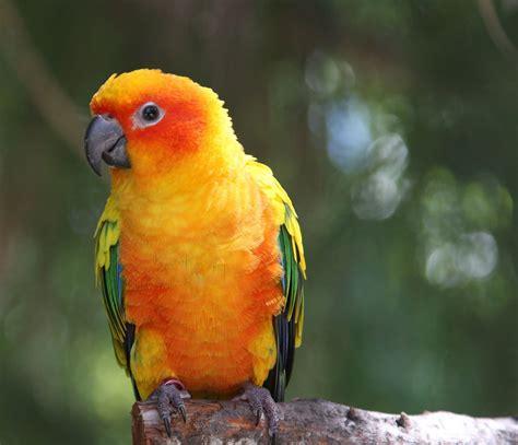 sun conure sun conure parrot fab feathers pinterest
