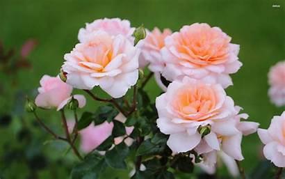 Rose Bush Roses Bushes Plants Flower Plant