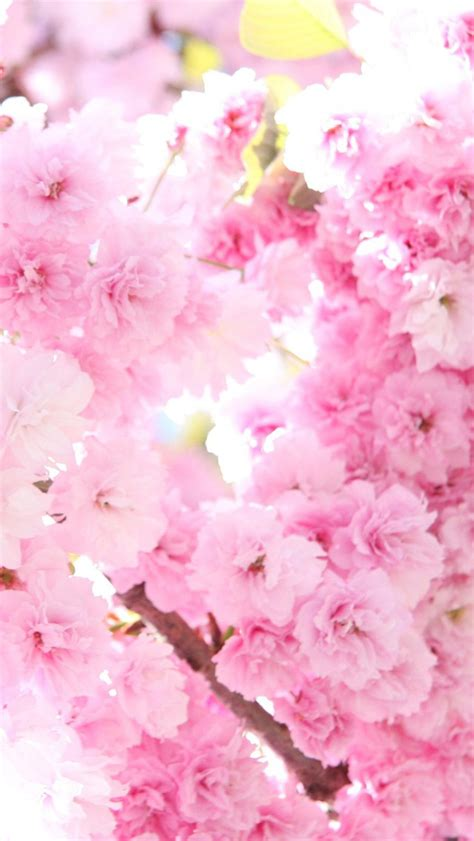 Hd & 4k quality wallpapers no attribution required available on all devices! 40+ Pink Cherry Blossom Wallpaper on WallpaperSafari