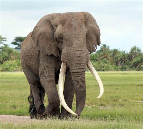 how can an elephant get top 28 how can an elephant get can the evolution of elephants show us how to treat