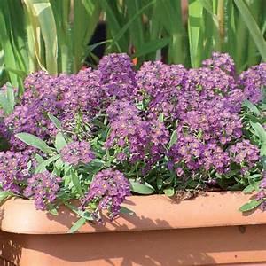 Ampelpflanzen Und Hängepflanzen Garten : duftsteinrich 39 violet honey 39 ~ Buech-reservation.com Haus und Dekorationen