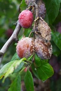 Himbeeren Krankheiten Bilder : zwetschgenbaum krankheiten erkennen und behandeln ~ Lizthompson.info Haus und Dekorationen