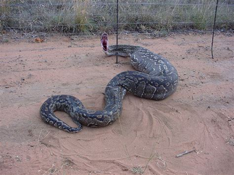 electric snake fence python python went the electric fence swollowed 3540