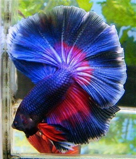best images about you betta work it on 17 best images about bettas on copper auction 17