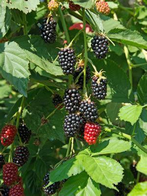 schattengarten anlegen beliebte schattenpflanzen und
