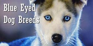 Blue Eyed Dogs | www.pixshark.com - Images Galleries With ...
