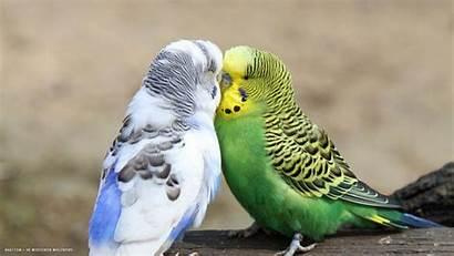 Budgie Birds Budgies Kissing Widescreen Tweet Backgrounds