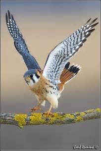 Hawk Sparrow American Kestrel Falcon