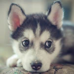 Huskie Puppies