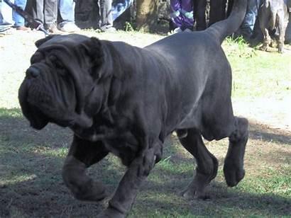 Neapolitan Mastiff Breed Male