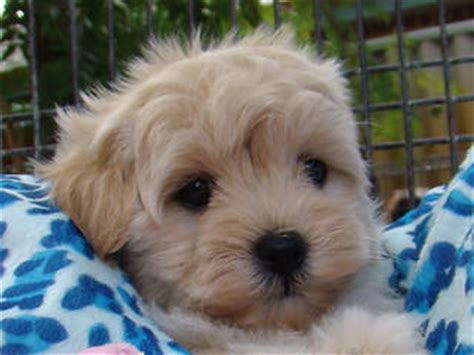 sale moodle maltese  toy poodle tiny baby boy