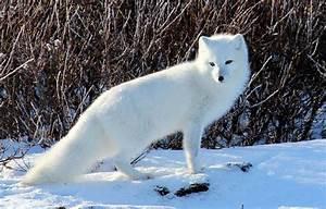 Arctic Fox U2026
