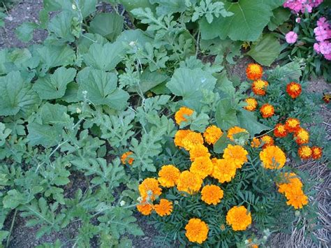 marigolds in garden marigolds just a pretty flower or much more veggie gardening tips