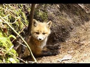 Fox go FLOOF | FunnyCat.TV