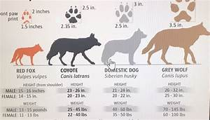 Wolf Vs Dog Size Chart How Heavy Is A Grey Wolf Quora