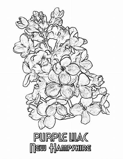 Lilac Coloring Purple Hampshire Pages Sheet Coloringsky