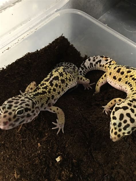 do leopard geckos shed 100 do leopard geckos shed skin 100 do leopard