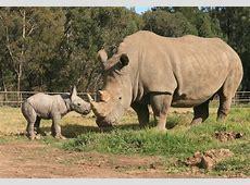 Remarkable White Rhino Birth at Taronga Western Plains Zoo