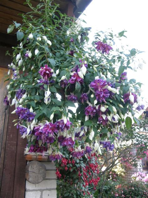 hanging baskets for hummingbirds 253 best images about fuchsias basket фуксии fuchsias on pinterest hanging basket plants