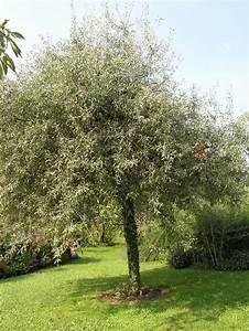 Kleine Bäume Für Garten : hausb ume f r kleine g rten haus b ume b ume garten und garten pflanzen ~ A.2002-acura-tl-radio.info Haus und Dekorationen