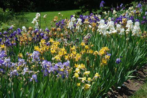 iris transplant images