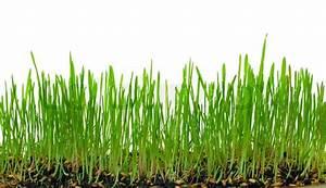 Garten Ohne Gras : ein makro nahaufnahme von weizen gras w chst aus den wurzeln in den boden von schmutz und erde ~ Sanjose-hotels-ca.com Haus und Dekorationen