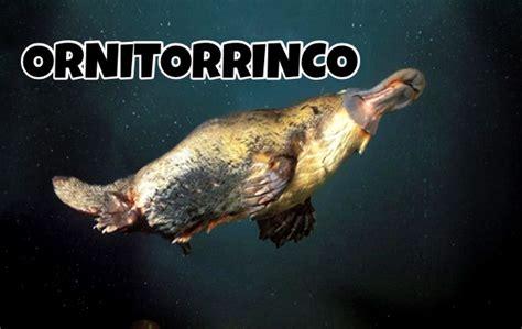 ornitorrinco animales en peligro de extincion