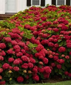 Hortensie Wims Red : red sensation hydrangea plants pinterest ~ Michelbontemps.com Haus und Dekorationen