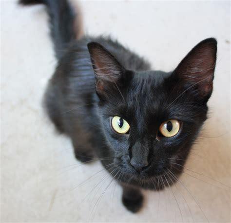 Black Kitty Agwired