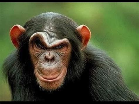 Monkey Face Meme - most funniest monkey face pictures that will make you laugh funnyexpo